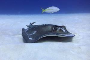 a southern stingray glides above the sand