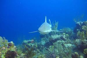 A caribbean reef shark cruises just above the reef bed