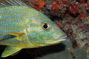 A colorful yellow and blue stripped grunt fish
