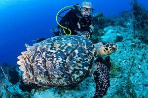 A female divers gets some close up time with a hawksbill turtle