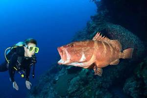 divers hovers to watch a grouper at a cleaning station