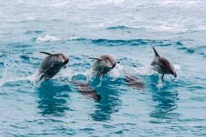A pod of bottlenose dolphins follow the wake of the dive boat