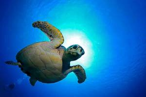A juvenile hawksbill turtle is silhouetted by the sun