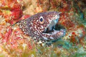 a spotted moray peeks out of a coral head