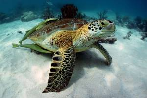 A turtle resting in the sand being cleaned by two remoras